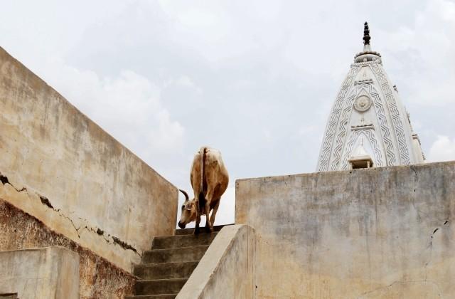 "4. Manuela Galli |  Jaipur, Rajasthan, (India, 2010) | ""Cows and temples"""