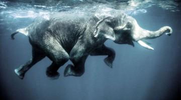 Swimming elephants-Oliver-Blaise