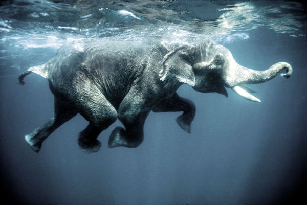 Swimming elephants-Oliver-Blaise