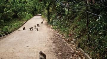 isole del golfo del siam scimmie Koh Samui