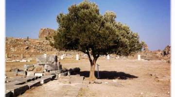l'albero di Pergamo