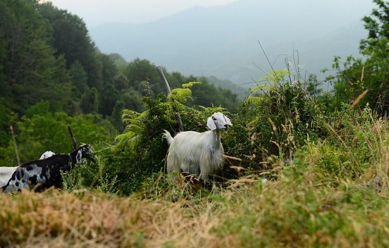 pecore al Carro. ci fermiamo alla sorgente per l'acqua.