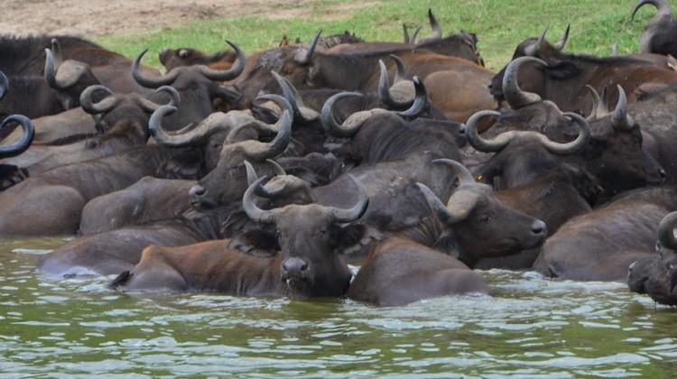 Uganda la perla dell'Africa- i Bufali