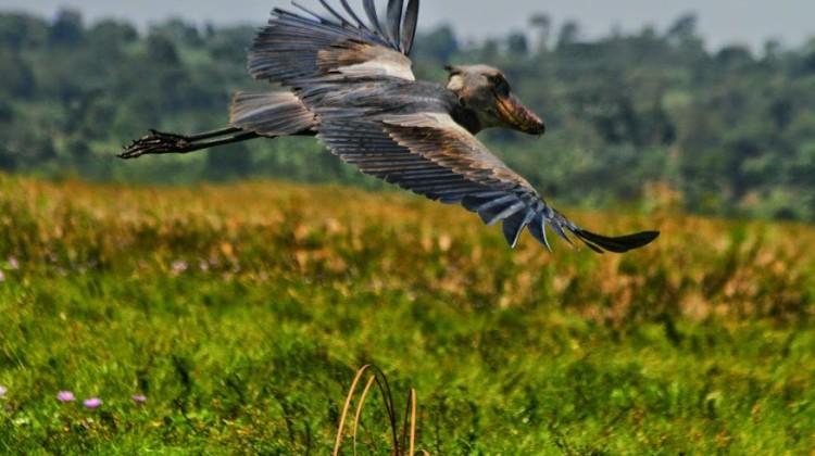 Uganda la perla dell'Africa- uccelli