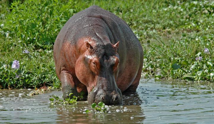 Uganda la perla dell'Africa - ippopotamo