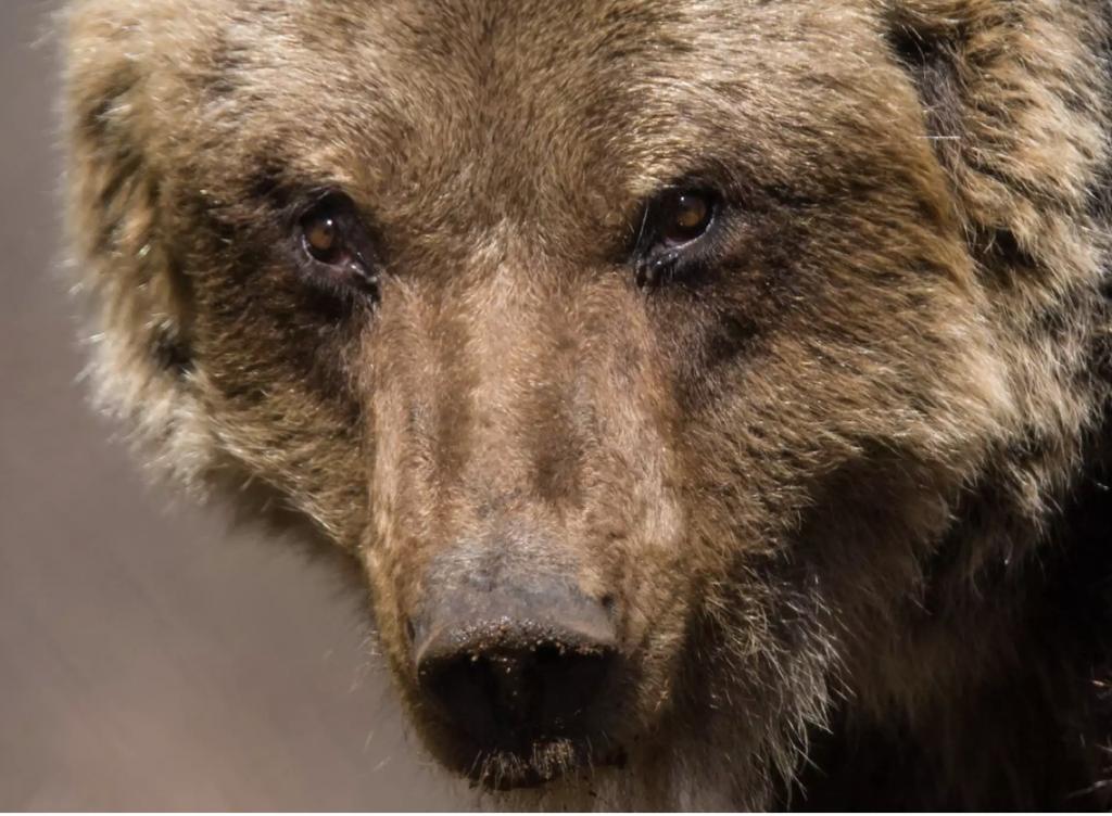 primo piano muso orso bruno marsicano